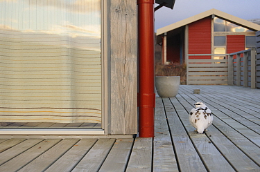 Ptarmigan (Lagopus muta) on decking of a house. Iceland. October.
