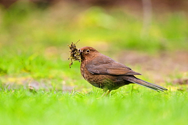 Blackbird (Turdus merula) adult female collecting nesting material from garden lawn. London, England, UK, March.