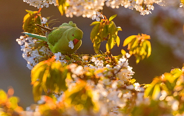 Rose-ringed parakeet (Psittacula krameri) feeding on cherry tree (Prunus) flowers in evening light. London, England, UK, May.