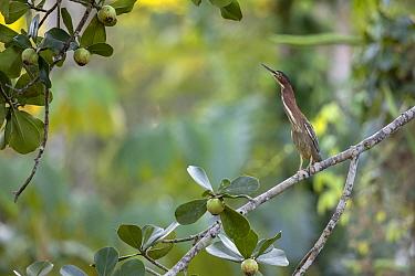 Green heron (Butorides virescens) in Chuchillas del Toa Biosphere Reserve, Cuba.