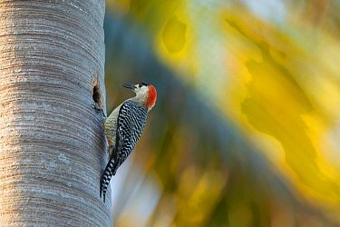 West Indian woodpecker (Melanerpes superciliaris), at nest hole, Cuba