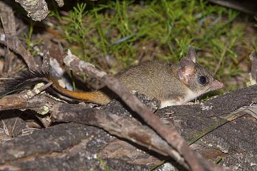 Red-tailed phascogale (Phascogale calura) Wheat-belt Region, Western Australia.