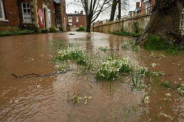 Flooded Snowdrops (Galanthus nivalis), Teme Street, Tenbury Wells, Storm Dennis, Worcestershire, 16 February 2020.
