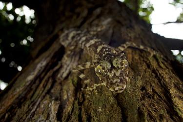 New species of Leaf-tailed gecko (Saltuarius eximius)on tree trunk in patch of rainforest. Cape Melville National Park, Cape York Peninsula, Queensland, Australia.