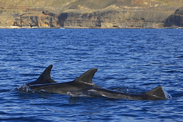 Rough-toothed dolphin (Steno bredanensis) three surfacing together, Gran Canaria, Canary Islands.