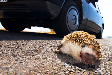 North African hedgehog (Atelerix algirus) run over by car. Canary islands.