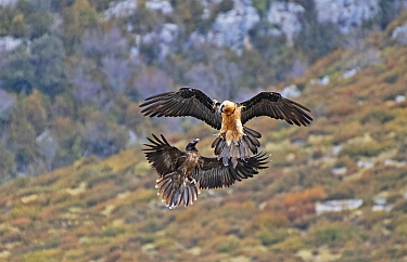 Two Bearded Vultures / Lammergeiers (Gypaetus barbatus). Immature male engaged in early courtship display with an adult female. Immature Bearded Vultures engage in courtship for up to two years before...
