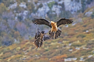 Two Bearded Vultures / Lammergeiers (Gypaetus barbatus). Immature male engaged in early courtship display with an adult female, Valle de Puertolas, Aragon, Spanish Pyrenees