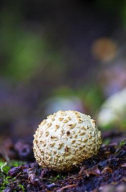 Common earthball fungus (Scleroderma citrinum), Hannicombe Wood, Dartmoor, Devon. October.