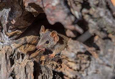 Yellow-footed antechinus (Antechinus flavipes leucogaster) peering out from its den, Wheatbelt Region, Western Australia.
