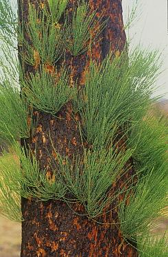Severely burnt Rock sheoak (Allocasuarina huegeliana) re-sprouting from epicormic buds after major bushfire, Mount Cooke, Darling Range, Western Australia. April 2003.