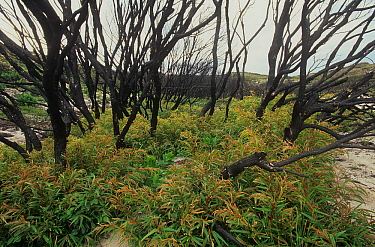 Severely burnt stand of Western Australian peppermint, or Willow myrtle (Agonis flexuosa) re-sprouting from lignotubers after major bushfire, West Cape Howe National Park, Western Australia. April 200...