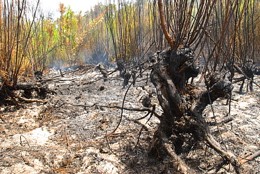 Burning Peat Swamp - an area accidentally burnt in a prescribed burn program. Peat swamps burn extremely slowly over several months after the bushfire in surrounding areas has been extinguished. As th...