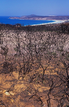 Proteaceous coastal heathland (an exclusive habitat of two critically endangered wildlife species) devastated by prescribed burn that went horribly wrong, Fitgerald River National Park, South East Coa...