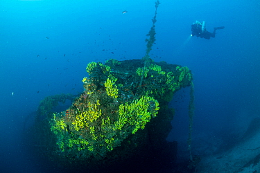 Rebreather diver exploring the wreck of the Italian tugboat Ursus which sank on 31 January 1941, covered with yellow sponges (Aplysina cavernicola), near Stoncica lighthouse, Vis Island, Croatia, Adri...