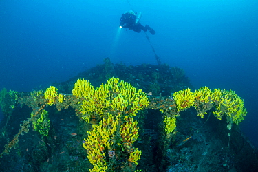 Rebreather diver exploring the stern of the Italian tugboat Ursus which sank on 31 January 1941, covered with yellow sponges (Aplysina cavernicola), near Stoncica lighthouse, Vis Island, Croatia, Adri...