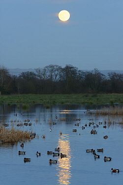 Wigeon (Anas penelope) group swimming on flooded pastureland at dusk with a rising full Wolf moon, Catcott Lows National Nature Reserve, Somerset, UK, January.
