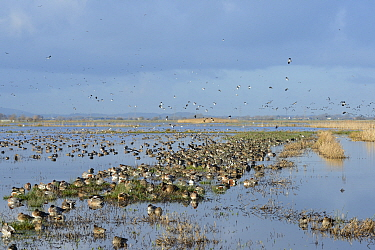 Large, dense flock of Wigeon (Anas penelope), Common Teal (Anas crecca) and Northern shoveler (Anas / Spatula clypeata) resting on largely flooded marshy pastureland with Northern lapwings (Vanellus v...