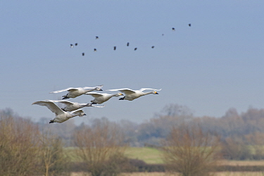 Bewick's swan (Cygnus columbianus bewickii) family group of two adults and three juveniles flying over pastureland, Gloucestershire, UK, January.