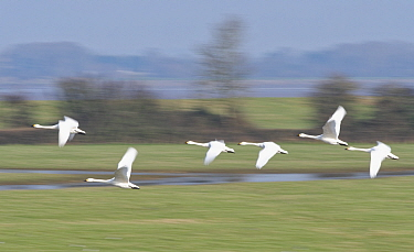 Bewick's swan (Cygnus columbianus bewickii) group flying over partially flooded pastureland, blurred motion, Gloucestershire, UK, January.