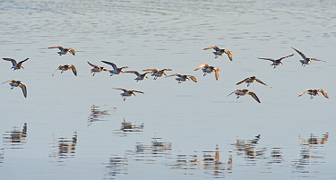 Dunlin (Calidris alpina) flock flying in to land on a freshwater pool, Pilning Wetland, Somerset, UK, January.