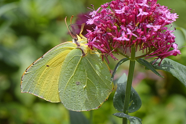 Canary Islands Brimstone (Gonepteryx cleobule) a species endemic to highland parts of the Canaries nectaring on Red valerian (Centranthus ruber) flowers on a garden wall, Chamorga, Anaga Rural Park,...