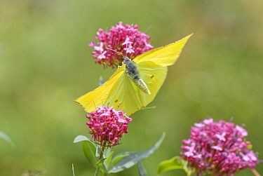 Canary Islands Brimstone (Gonepteryx cleobule) species endemic to highland parts of the Canaries, taking off from Red valerian (Centranthus ruber) flowers Chamorga, Anaga Rural Park, Tenerife, August...