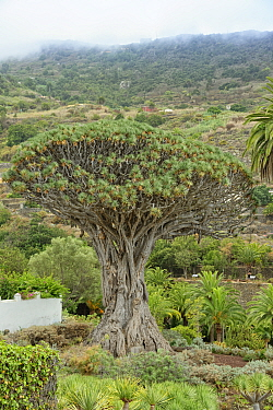 Ancient Canary Islands dragon tree / Drago (Dracaena draco) 'El Drago Milenario', claimed to be a thousand years old, Icod de los Vinos, Tenerife, Canary Islands, Spain, August 2019.