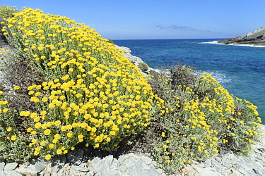 Eternal / Everlasting flower (Helichrysum stoechas) clumps flowering on a rocky coast, near Arta, Majorca east coast, May.