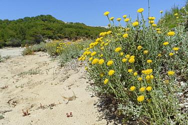 Eternal / Everlasting flower (Helichrysum stoechas) clumps flowering on sand dunes behind a beach, near Arta, Majorca east coast, May.