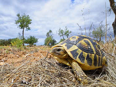 Hermann's tortoise (Testudo hermanni) in a farmland habitat bordering Mondrago Natural Park where they have been reintroduced this century, Santanyi, Majorca, May.