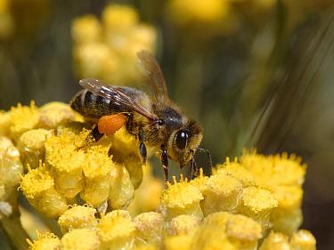Honeybee (Apis mellifera) nectaring on Eternal / Everlasting flower (Helichrysum stoechas) clump flowering on sand dunes, Mondrago Natural Park, Majorca south coast, May.