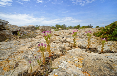 Lesser or Branched centaury (Centaurium pulchellum) flowering on limestone cliff tops, Majorca south coast, May.