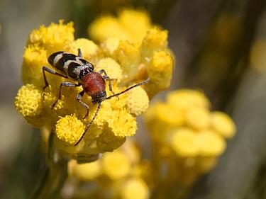 Longhorn beetle (Chlorophorus trifasciatus) nectaring on Eternal / Everlasting flower (Helichrysum stoechas) clump flowering on sand dunes, Mondrago Natural Park, Majorca south coast, May.