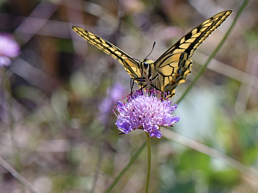 European swallowtail butterfly (Papilio machaon) nectaring on a Sea pincushion flower (Scabiosa maritima, Mondrago Natural Park, Majorca south coast, May.