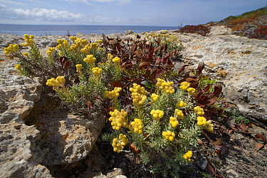 Eternal / Everlasting flower (Helichrysum stoechas) clump flowering on limestone cliff tops, Majorca south coast, May.