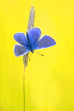 Male common blue butterfly (Polyommatus icarus) basking wings open on grass, Vealand Farm, Devon, UK. June.