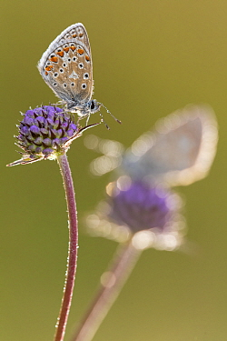 Common blue butterflies (Polyommatus icarus) resting on devil's bit scabious (Succisa pratensis), Vealand Farm, Devon, UK. August.
