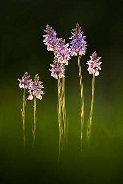 Common spotted orchids (Dactylorhiza fuchsii) in flower, Dunsdon, Devon Wildlife Trust, Devon, UK. June.