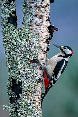 Great Spotted Woodpecker (Dendrocopus major), feeding on silver birch tree, Cairngorms National Park, Scotland. January.