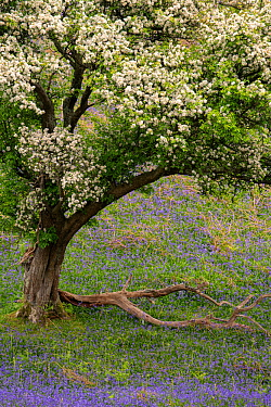 Hawthorn tree (Crataegus monogyna) in blossom and bluebells (Hyacinthoides non-scripta), The Lake District, Cumbria, May.