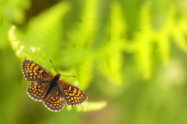 Heath fritillary (Mellicta athalia) butterfly basking on bracken (Pteridium aquilinum), Exmoor National Park, Devon, UK. June.
