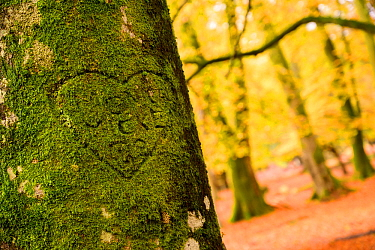 A heart shape made in moss on a beech tree, autumn at Bolderwood, The New Forest, Hampshire, UK. November.