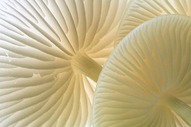 Close-up of backlit Porcelain fungus (Oudemansiella mucida) showing gills, Cornwall, UK. September