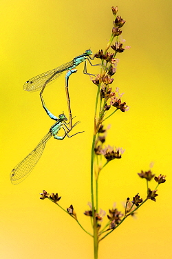 Azure / common coenagrion damselflies (Coenagrion puella) pair mating, Meeth Quarry, Devon, UK. July.