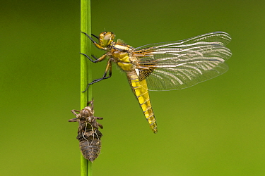 Broad-bodied chaser dragonfly (Libellula depressa) newly emerged with exuvia. Broxwater, Cornwall, UK. July.