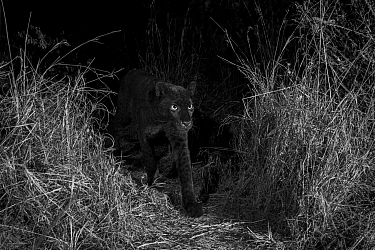 Young male melanistic leopard (Panthera pardus), Laikipia Wilderness Camp, Kenya. Photographed with a camera trap. Black and white.