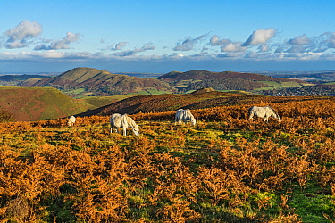 Ponies grazing on the Long Mynd in late afternoon light with Caer Caradoc and Hope Bowdler Hills in the background Shropshire, UK, November 2019.