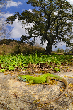 Western green lizard (Lacerta bilineata) female basking in habitat near a Cork Tree, Sicily, Italy.