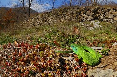 Western green lizard (Lacerta bilineata) basking in habitat, Europe